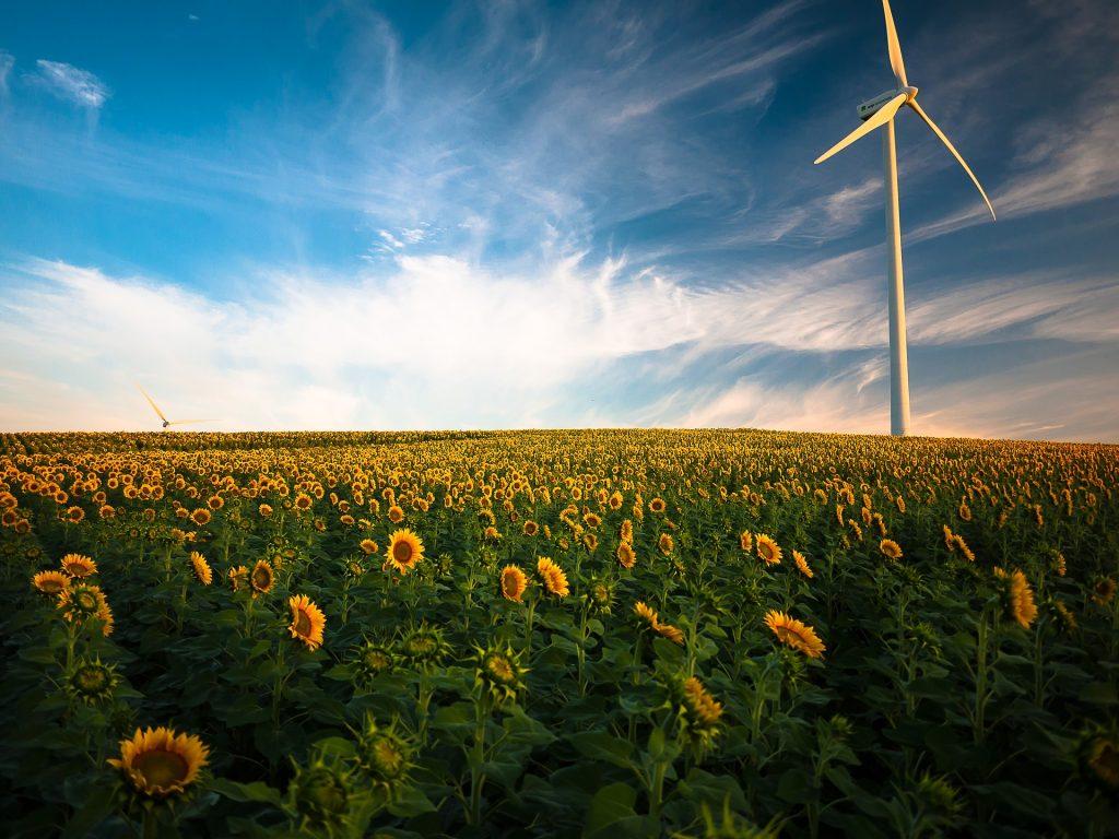 Une éolienne isntallée dans un champ de tournesols